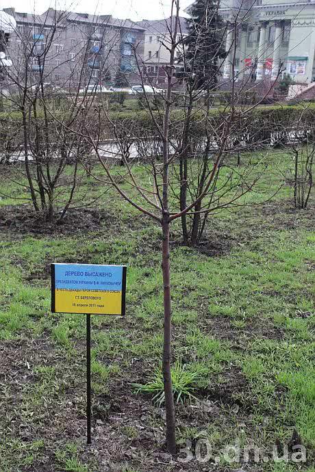 Горобина, яку посадив Янукович, відмовилася рости