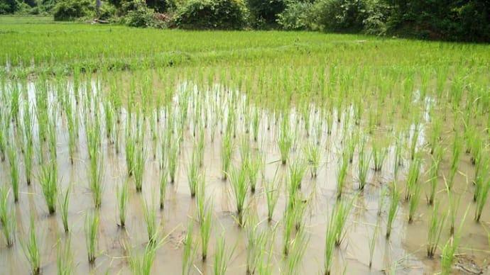 Рисові поля для багатьох є екзотикою, але точно не в Бессарабії